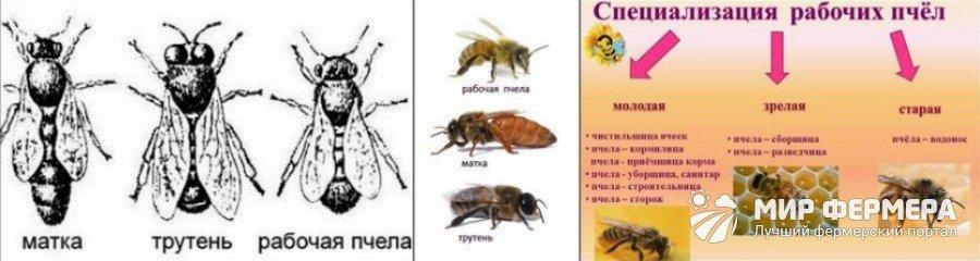 Какие бывают виды пчел