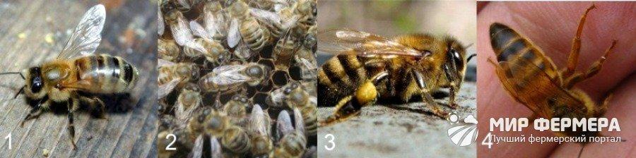 Какая порода пчел самая продуктивная