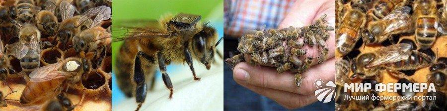 Порода пчел бакфаст характеристика