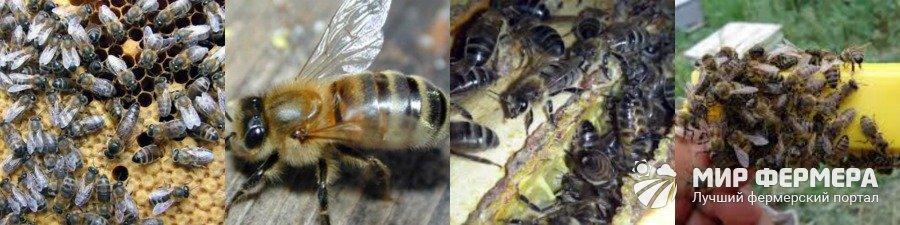 Среднерусские пчелы выращивание и уход