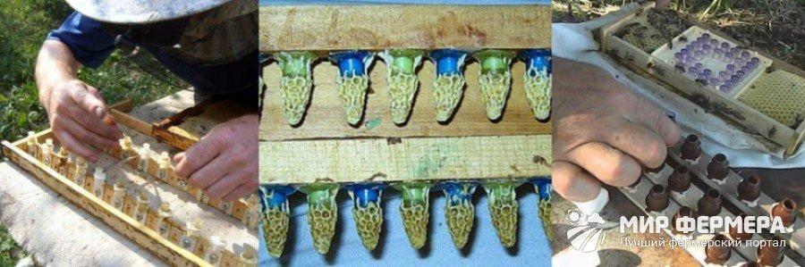 Как вывести пчелиную матку