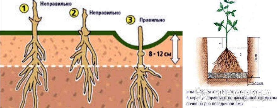 Пересадка клематисов