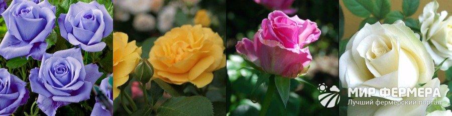 Виды роз и их характеристика
