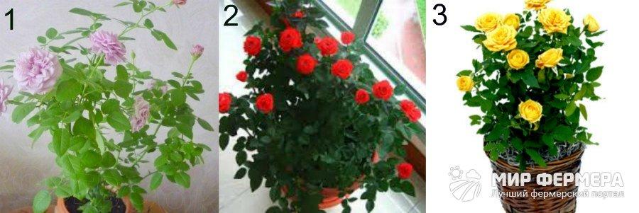 Виды комнатных роз