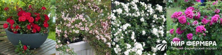 Лучшие розы для сада и дачи