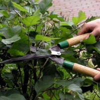 Когда и как следует обрезать декоративные кустарники