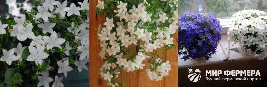 Комнатный цветок невеста выращивание