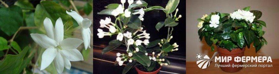 Комнатный жасмин выращивание