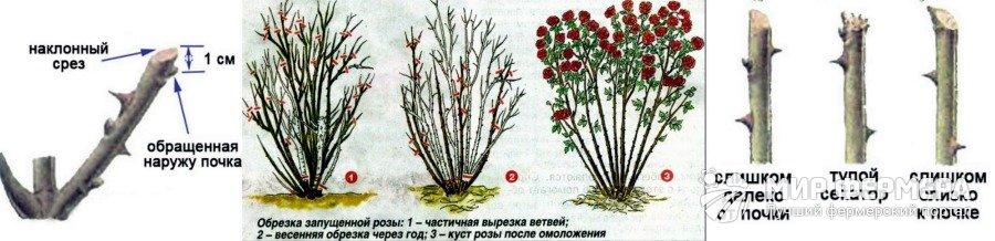 Обрезка роз в саду