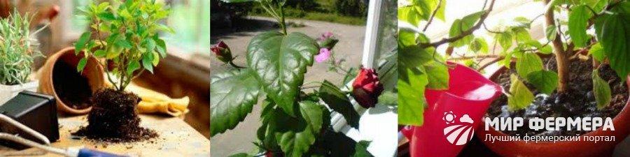 Выращивание роз в горшке
