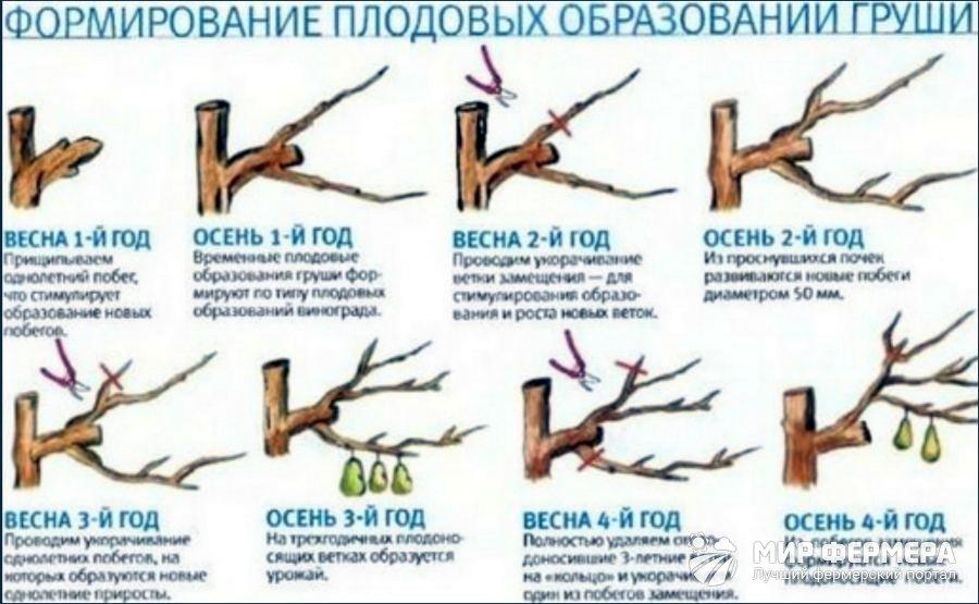 Обрезка груши осенью, весной, летом: как правильно обрезать 2