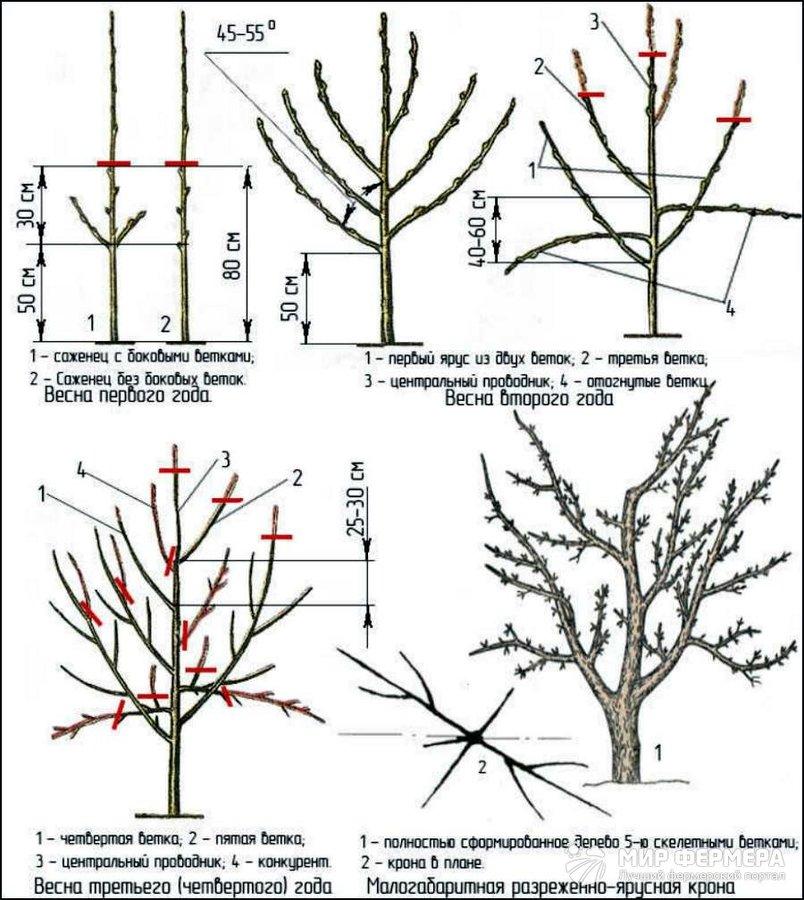 Как правильно делать формирующую обрезку груши Сайт о саде 36