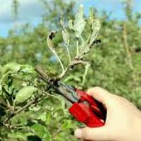 Как правильно обрезать яблони весной