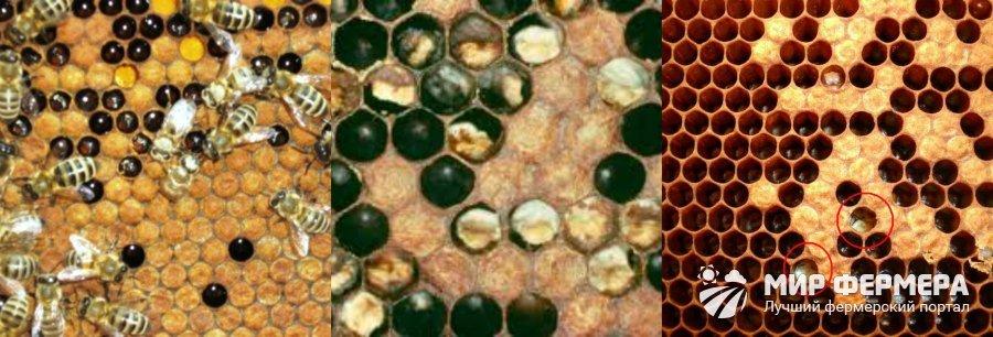 Мешотчатый расплод пчел фото
