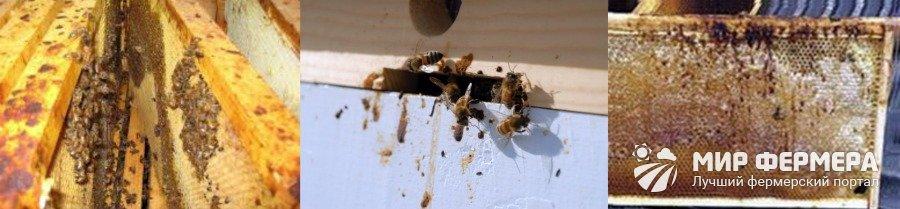 Нозематоз пчел симптомы