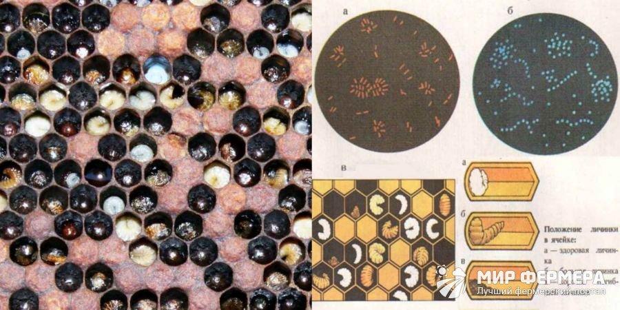 Европейский гнилец пчелиного расплода