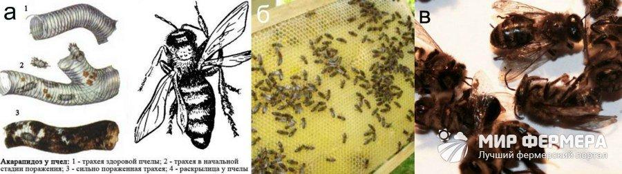 Заразные болезни пчелиных семей