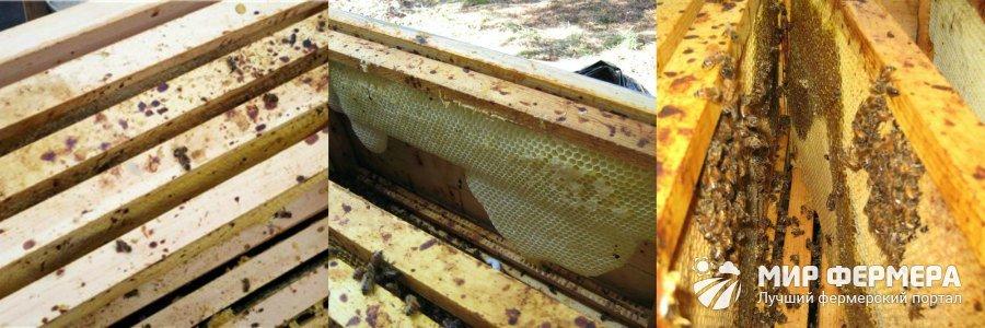 Как определить нозематоз у пчелиной семьи