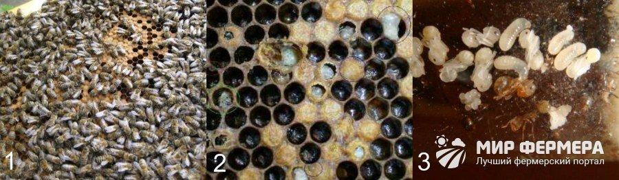 Незаразные болезни пчелиного расплода