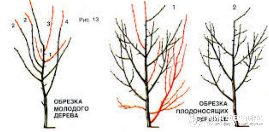 Обрезка сливы весной и летом для начинающих: формирование, схема, видео