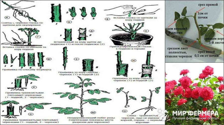 Размножение роз одревесневшими черенками