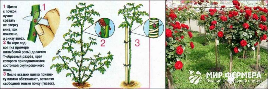 Как размножают штамбовые розы