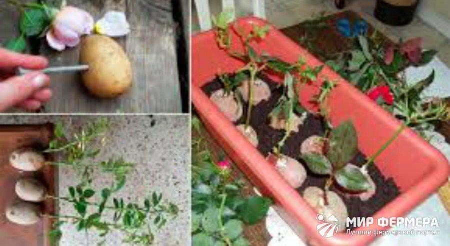Черенки розы в картофеле