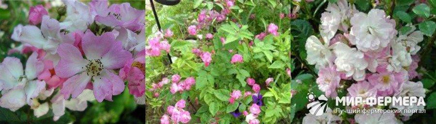 Роза Крылья Ангела выращивание и уход