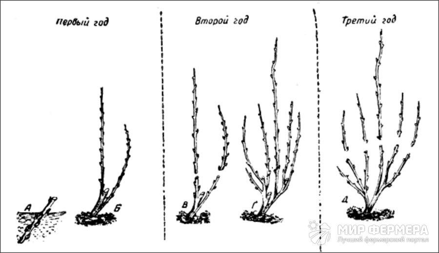 Схема обрезки ремонтантной малины