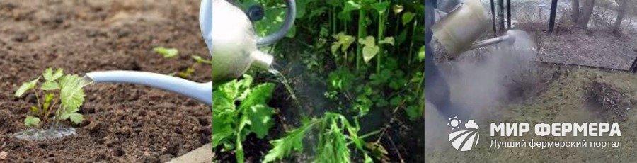 Как поливать клубнику кипятком