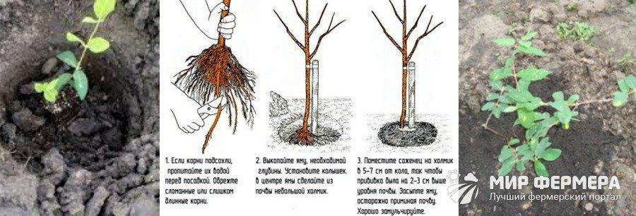 Как посадить жимолость