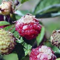 Болезни и вредители малины и борьба с ними и обработка