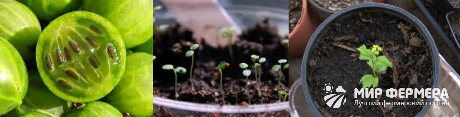 Как вырастить крыжовник из семян