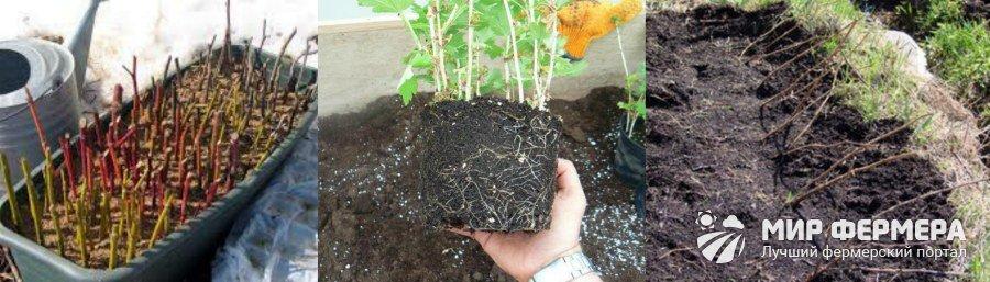 Как посадить черенки крыжовника в грунт