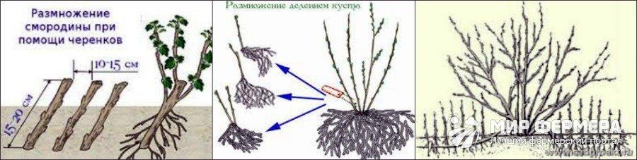Способы посадки смородины