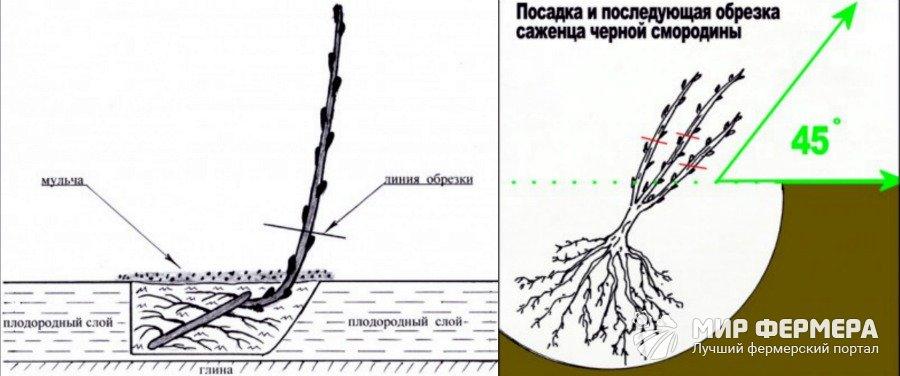 Схема посадки черной смородины