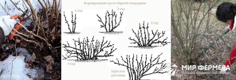 Смородина весной уход