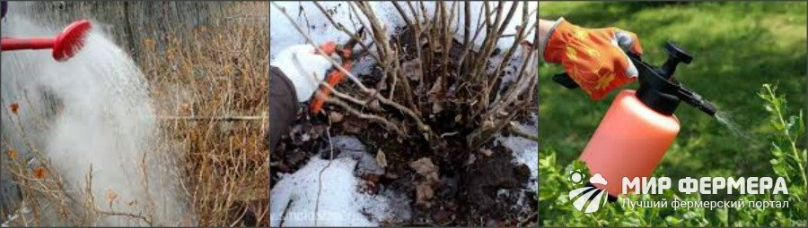 Обработка смородины от болезней весной