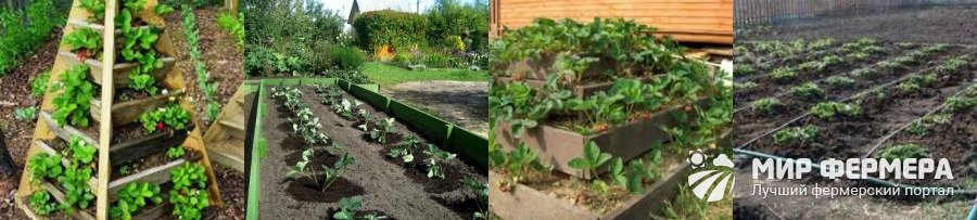 Посадка клубники весной выбор почвы и участка