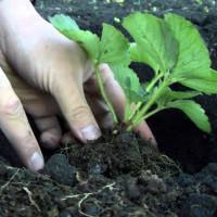 как правильно сажать клубнику осенью в открытый грунт фото