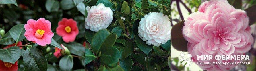 Японская камелия выращивание и уход