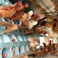 Уход за курицами в домашних условиях содержание 794