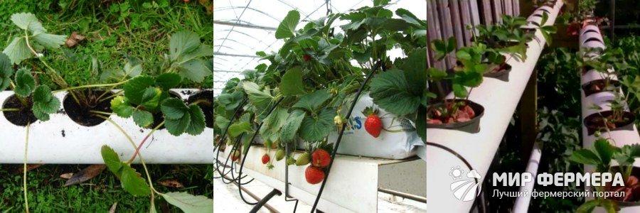 Выращивание клубники в ПВХ трубах горизонтально