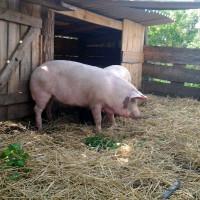 Загоны для свиней своими руками 368