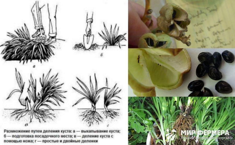 Размножение лилейника