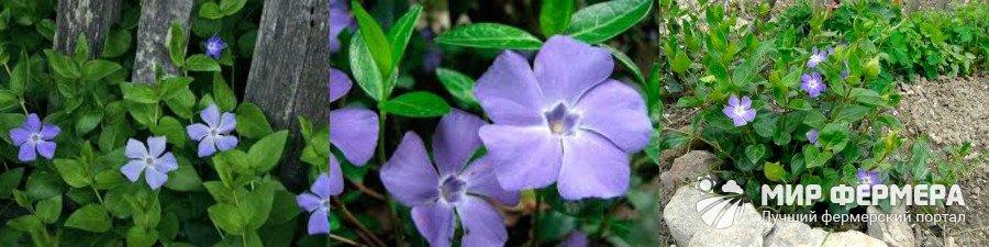 Цветок барвинок фото и описание