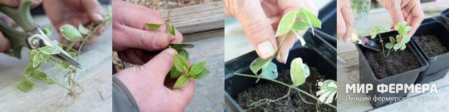 Выращивание барвинка из черенков