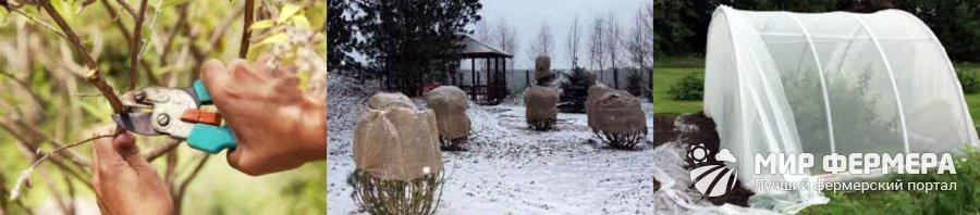 Будлея подготовка к зиме