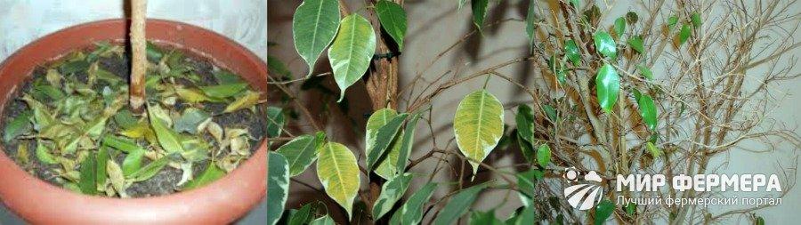 Фикус Бенджамина опадение листьев