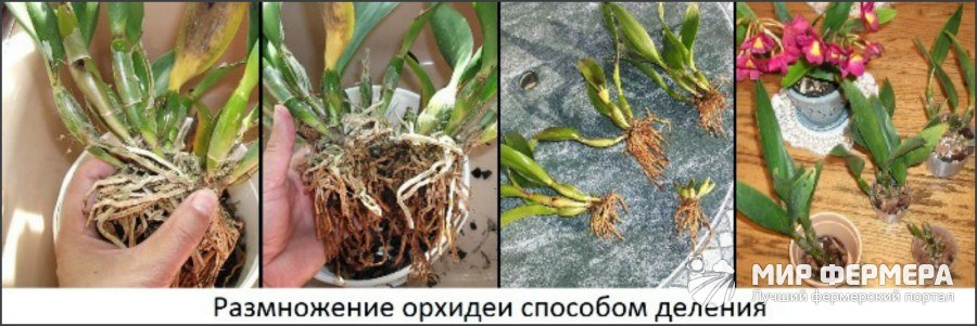 Орхидея размножение деток в домашних условиях 846